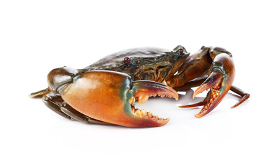 Raw black crab  on white background