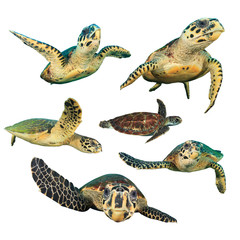 Sea Turtles. Hawksbill Turtles. Green Turtle in middles. Turtles isolated white background
