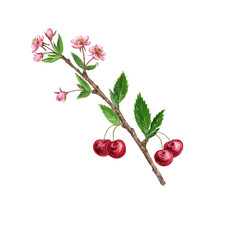 cherry tree branch with flowers, leaves and berries