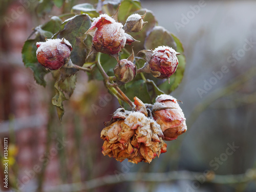 frozen buds on a - photo #32