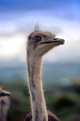 Canvas Prints Ostrich Ostrich at blue sky