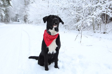 Big dog sits on the snow in the forest