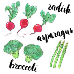 hand drawn set of watercolor vegetables radish asparagus broccol
