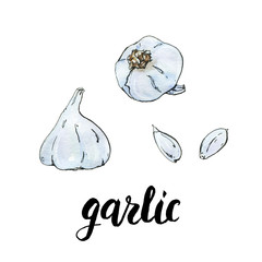 hand drawn watercolor vegetables garlic with handwritten words o