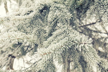Winter background. Pine tree branches covered with hoarfrost. Christmas background with a coniferous branch in snow.