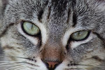 Grey tabby cat closeup