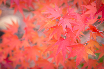 Red maple leaves selective focus in autumn season