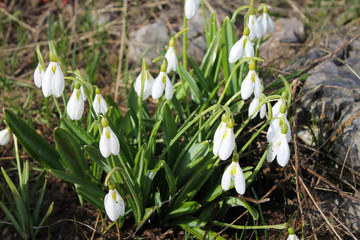 White snowdrops in bloom on rocky ground