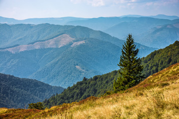 Spruce forest on Carpathian Mountain Range