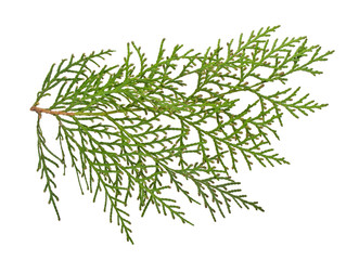 Closeup of green twig of thuja on white background
