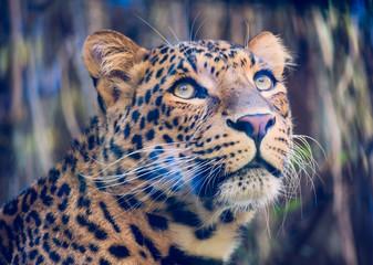 Portrait of a pensive North-Chinese leopard (Panthera pardus japonensis)
