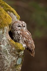 brown owl,   tawny owl, strix aluco, Czech republic