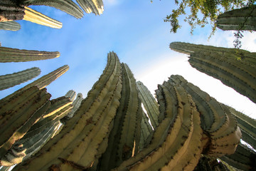 Millenary cactus looking at the sky.
