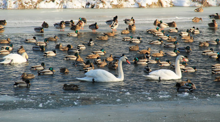 many mallard ducks and some swans swimming in the river in winter