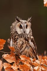 long-eared owl, asio otus, Czech republic