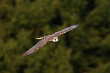 saker falcon, falco cherrug, Czech republic