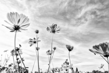 Black and white fine art of the cosmos flower