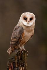 barn owl, tyto alba, Czech republic