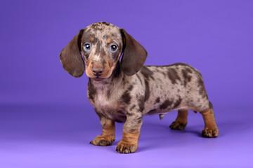 Little Dachshund puppy on a purple background