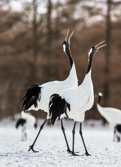 Two Japanese Cranes are walking on the snow. Japan. Hokkaido. Tsurui.  An excellent illustration.