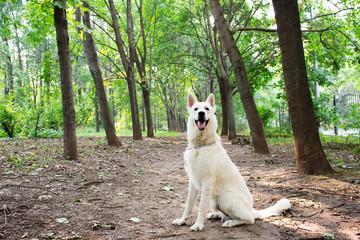 White Swiss shepherd dog in city park