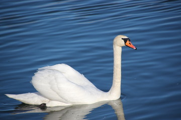 Swans on the river and the blue water