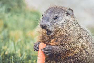 Young Woodchuck (Marmota Marmox) holding carrot low mouth open