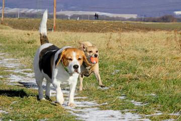 Spielende Hunde auf dem Feld