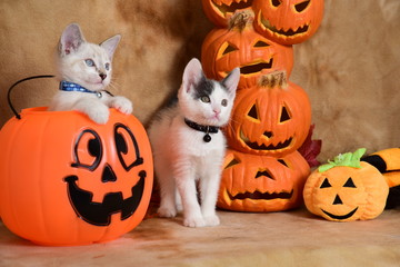 Kittens at Halloween - Humane Society