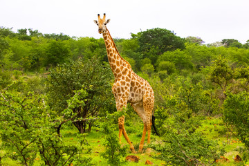Giraffe standing or hiding amongst the trees.  Zimbabwe, Africa.
