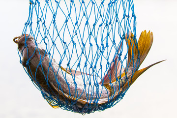 Fish in a net.  Tilapia bream.  Kariba.  Zimbabwe.  Africa.  White background.