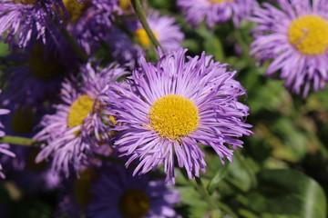 """Blue hybrid """"Fleabane"""" flowers in St. Gallen, Switzerland. Its Latin name is Erigeron Grandiflorum."""