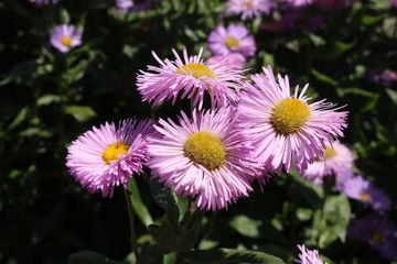 "Pink hybrid ""Fleabane"" flowers in St. Gallen, Switzerland. Its Latin name is Erigeron Rosa Juwel (Pink Jewel)."