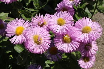 "Pink hybrid ""Fleabane"" flowers in St. Gallen, Switzerland. Its Latin name is Erigeron Rosa Juwel (Pink Jewel)."