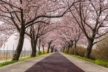 Spring pink cherry blossom tree and walk path in Busan, South Korea