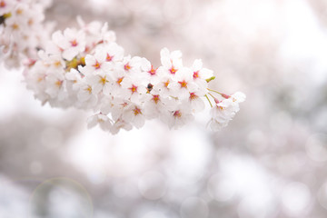 Abstract cherry blossom in spring with soft focus, background