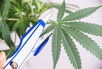Cannabis plant with scissors trimming a leaf - medical marijuana