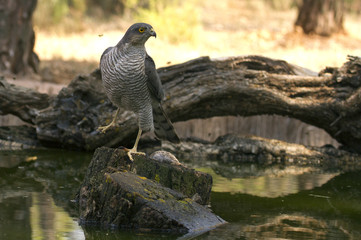 Adult  female of Eurasian sparrowhawk drinkin in a river in summer . Accipiter nisus