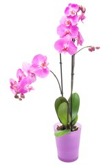 Pink purple orchid in pink pot on isolated white background.