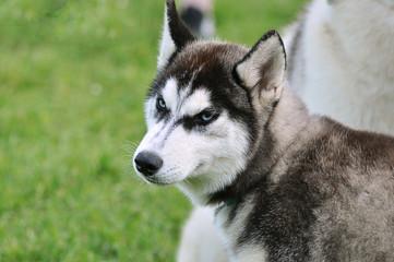 Blue eyed siberian husky dog