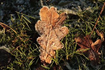 Fallen leaf in frozen grass/The frozen leaf on green lawn.