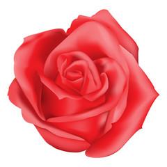 Red rose on white background vector illustration.