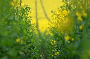 Blooming canola flowers on agricultural field. Rape in nature in spring. Bright Yellow oil. Flowering rapeseed. Photo with space for your montage