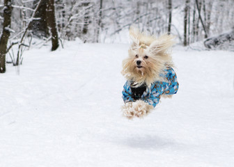 happy havanese dog in snow