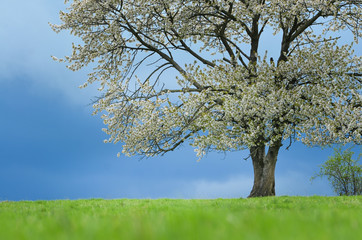 Spring cherry tree in blossom on green meadow under blue sky. Wallpaper in soft, neutral colors with space for your montage. Photo from clear, untouchable nature taken between april and may.