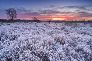 In de dag Lavendel Frosted heather at sunrise in winter in The Netherlands