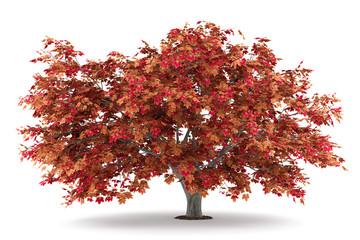 japanese maple tree isolated on white background