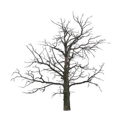 Dead tree in the winter isolated on white background