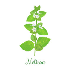 fresh melissa plant. Also Lemon balm or balm mint