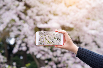 Hand holding smartphone taking photo of beautiful cherry blossom